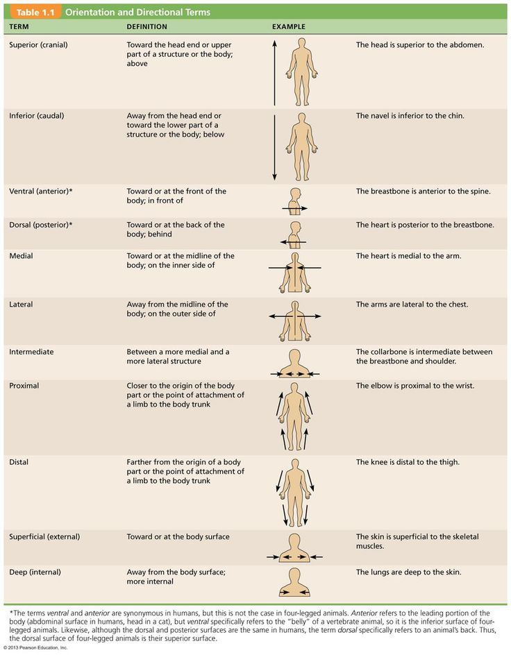 Directional terms applied to the human body