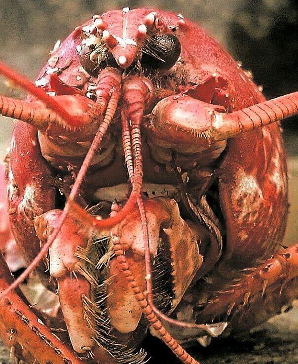 Lobster face