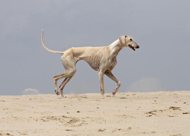 caravan hound | Tumblr