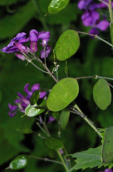 Lunaria Silver Dollar: Growing And Caring For a Money Plant