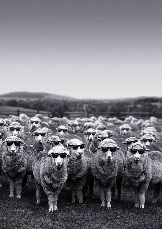 Il est où le mouton noir ?