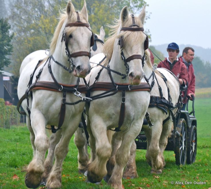 Vollezele Draft Horse Competition, oct 2012, Belgium photo - 6 Foursome weighing 900 kilo's each