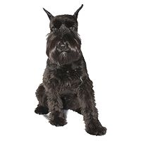 Miniature Schnauzer Picture: Ball, Schnauzers Breeder, Dogs, Wall Decals, Super Schnauzers, Miniatures Schnauzers, Sticks Wall, Schnauzers Pictures, Qualitydog Com