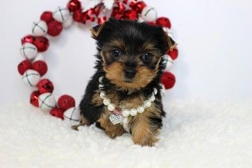 Breed:Teacup Yorkshire Terrier (Yorkie) Price: 2,200.00 Sex: Female Age: 8 weeks Color: Steel Blue Markings: Tan Hypoallergenic: Yes Estimated Adult Size: 4.5 - 5 lbs. Registration: CKC - Continental Kennel Club