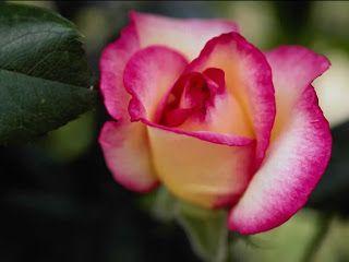 Association Of Catholic Bloggers: Roses, Mystical Rose, Rosary