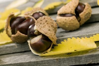 how to preserve buckeyes for crafts