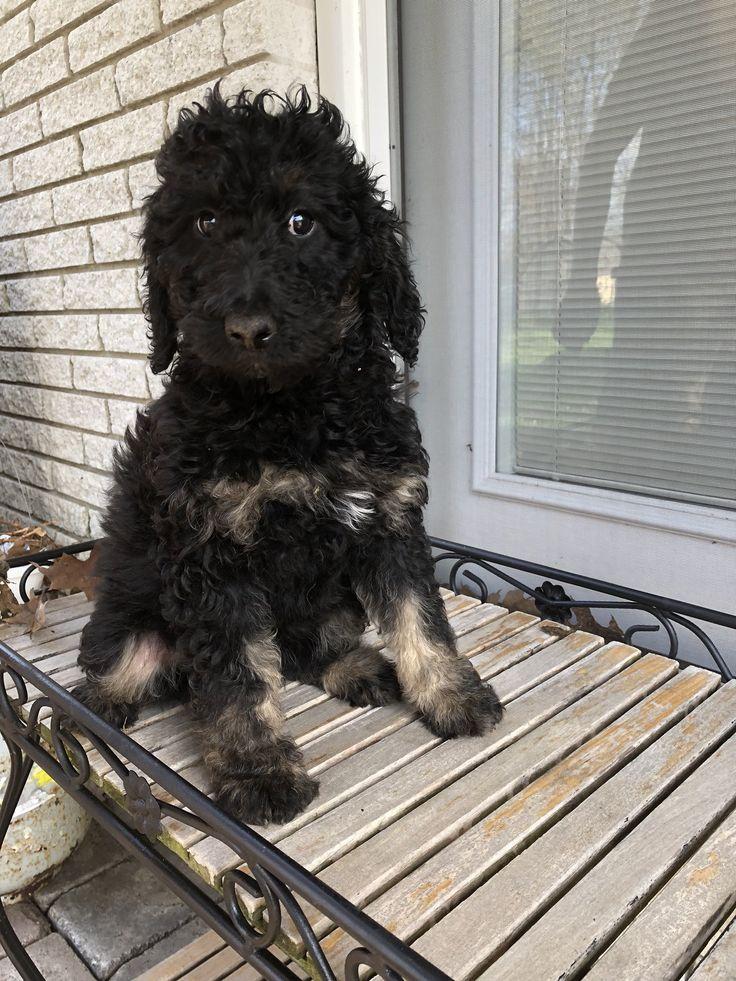 Suzie Female F1b Mini Bernedoodle puppy for sale