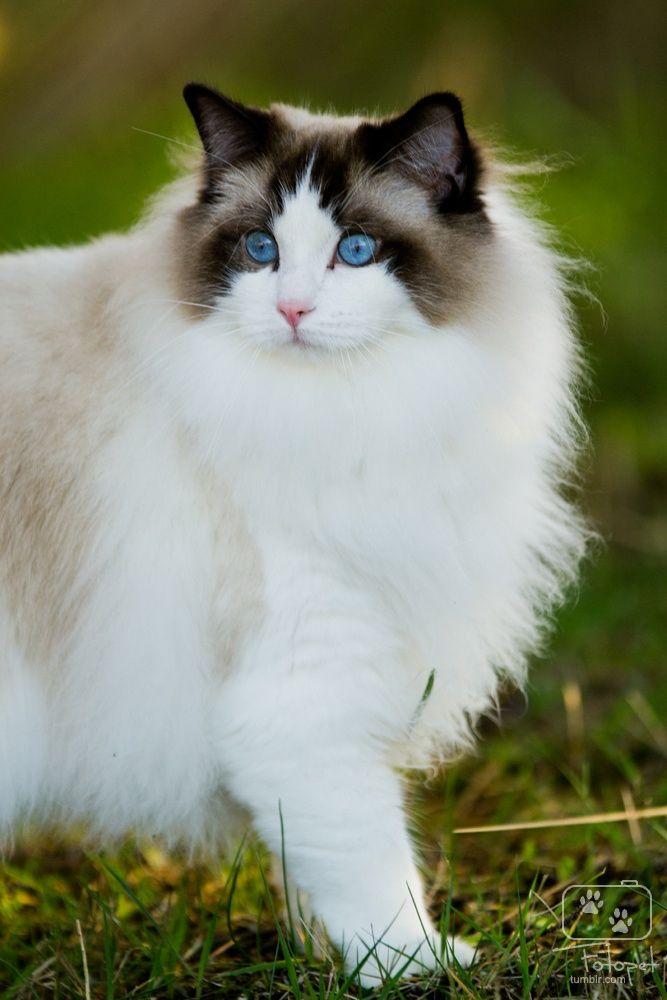 Bicolored Ragdoll cat named Helios. - by Silje Neset on 500px