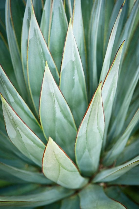 Agave, Nature Photography, Modern, Southwest, Desert Landscape, Fine Art Photograph, Home and Office Decor