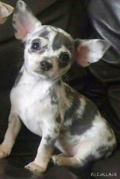 My Merle Chihuahua puppy                                                                                                                                                                                 More