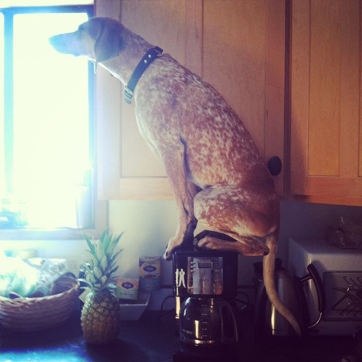 Coffee pot dog: Dogs Balance, Amazing Dogs, Mornings Coffee, Funny, Humor, Coff Protector, Attention Seeking, Animal Behav, Friends Dogs