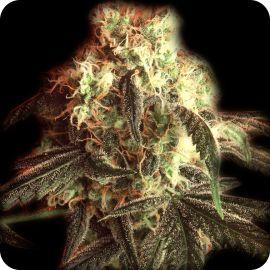 Fast Ryder I - strain - Bulldog Seeds | Cannapedia