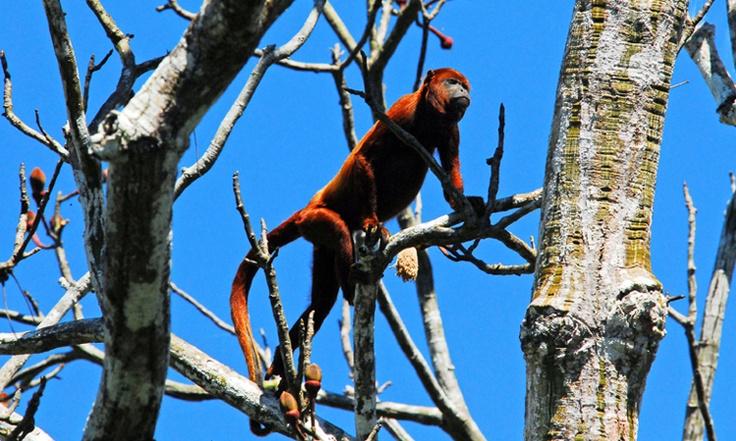 Mono Aullador - Iquitos, Perú