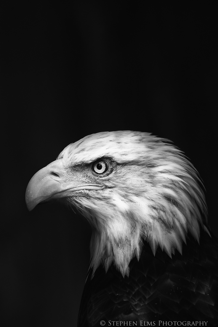 animal birds wild eagle wildlife bird portraits portrait