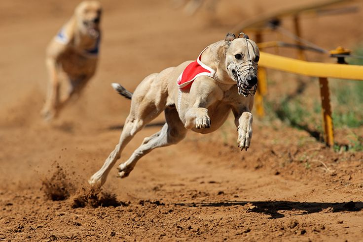 Dog Racing, Burgers & Drink for 2 - 4 Locations!