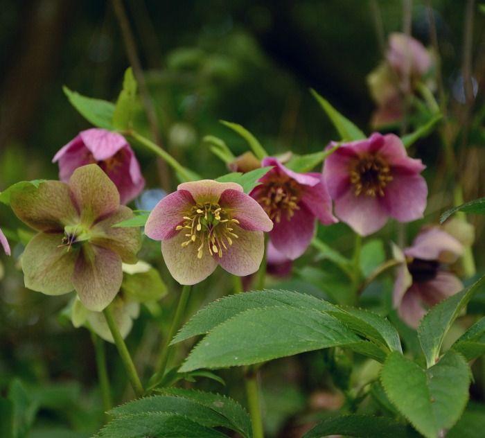 Pruning Hellebores Tips For Lenten Rose Maintenance Shade