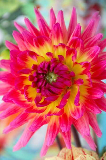 Tahitian Sunset Dahlia - it just glows!!!