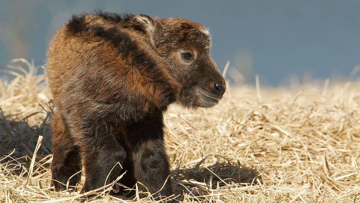 Le petit takin, un caprin d'Asie