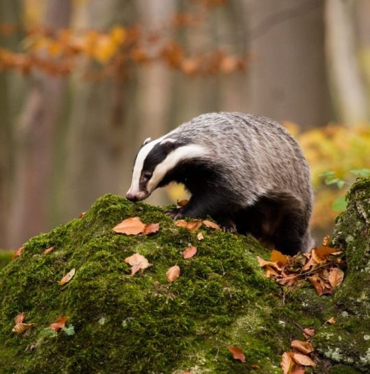 """Badger is about healing and the ability to use roots and herbs to bring about health and healing for one's self or another and yet it is also very much about learning to take responsibility for one's own life and being self-reliant. When Badger shows up it's time to get yourself grounded and prepare to keep your nose to the grindstone for a time, Badger is going to be pushing you to become very focused on what you need to do to manifest your hopes and dreams."""