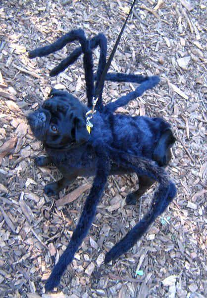 """""""Eu sou uma aranha e ninguém sequer tem medo de mim.""""   17 pugs que estão se sentindo desvalorizados hoje"""