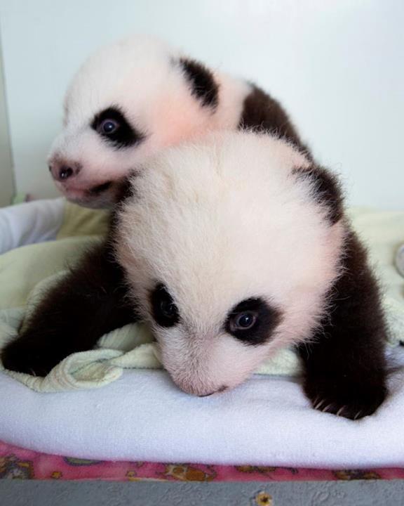 Mei Huan and Mei Lun, the twin panda bear cub sisters, who were born at the Atlanta Zoo on July 15.