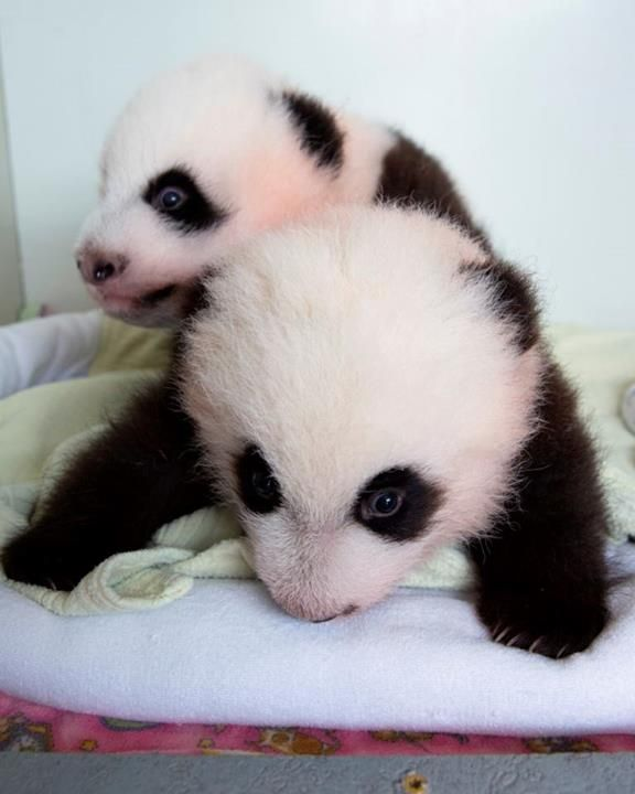 Mei Huan and Mei Lun, the twin panda bear cub sisters, who were born at the Atlanta Zoo on July 15.