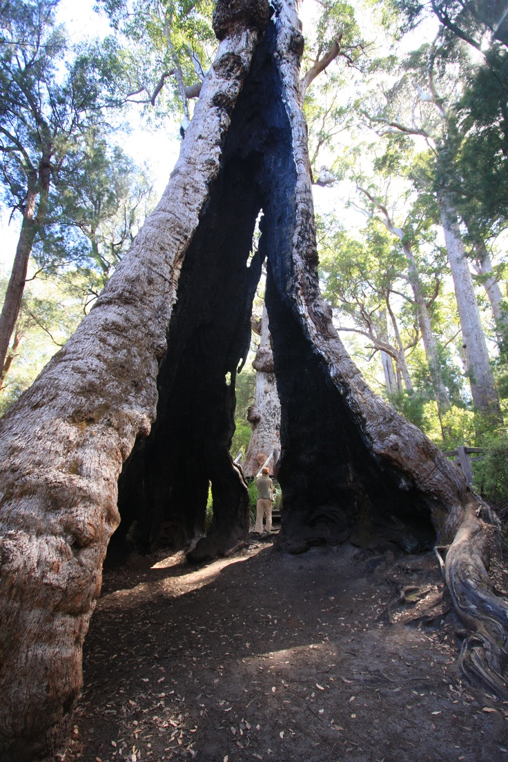 """There are many giant tingle trees at """"The Giant Tingle Tree' in the Walpole Wilderness. This one has been hollowed out by wildfire.  It is a gradual descent to the home of the Giant Tingle, and a gradual ascent on the return journey, as you wind your way through the ancient canopy of tingle and karri."""