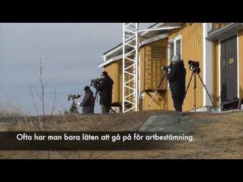 Bjuröklubbs fyr, fågelskådning - YouTube