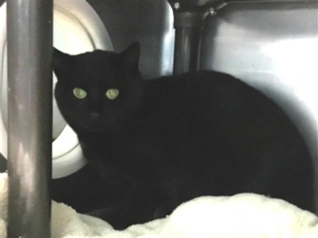 http://nyccats.urgentpodr.org/apple-18078/3 years old, Female, Domestic Short Hair, Black, Stray, 8 pounds,  Super Urgent Shelter Cats  These animals are either high risk, injured or have previously appeared on the To Be Destroyed list and survived. They are in danger of being on the list again or destroyed without any further notice.