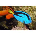 Blue Hepatus Tang