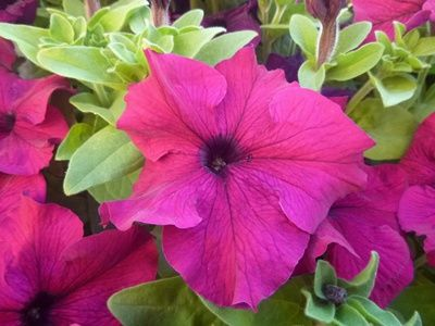 Serumpun Bunga Petunia Magenta Di Taman