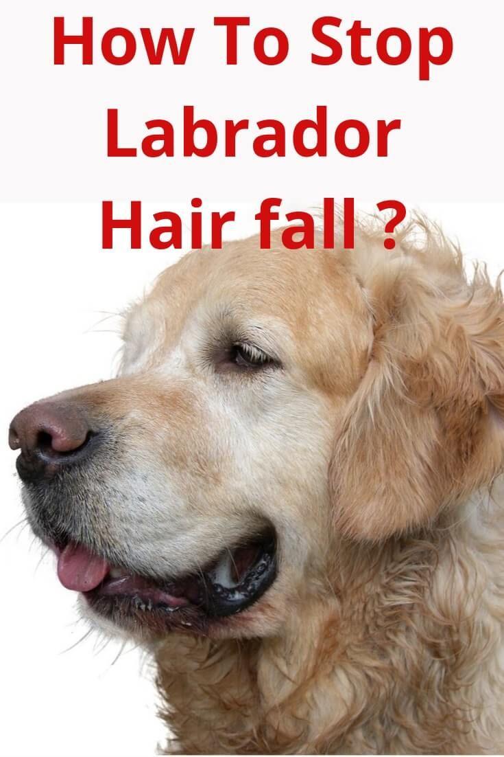 How To Stop Labrador Hair Fall In 2020 Fall Hair Excessive Hair Fall Labrador