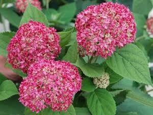 hydrangeas for sale pink