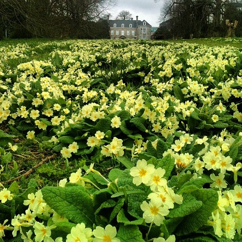 Primroses in front of Tremough House