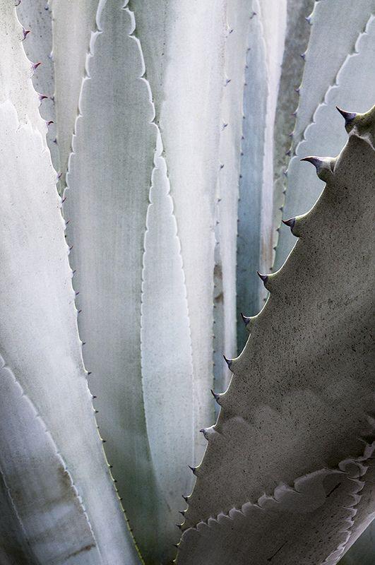 Agaven haben eine perfekte Balance zwischen Pastell-Grau und Pastell-Grün. Eine staubige, elegante Farbe.