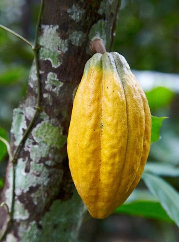 Cocoa Bean. Hello all you fans of chocolate. Here is the fruit in the rough.