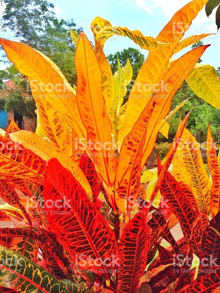 croton plant royalty-free stock photo