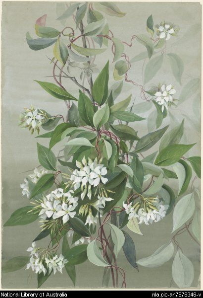Rowan, Ellis, 1848-1922.  [Billardiera candida] [picture]  [188-?] 1 watercolour ; 53.5 x 37 cm. (s.m.)  Part of Flower and bird paintings [picture] [ca. 1870-ca. 1921]  From National Library of Australia collection  http://nla.gov.au/nla.pic-an7676346  nla.pic-an7676346