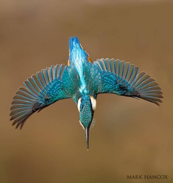 An interesting thing about the Kingfisher is that the FEMALE is a brighter color than the male ~ usually in bird species, it's the other way around!