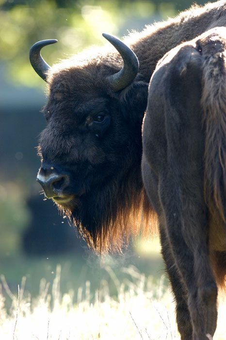 I Am Buffalo. I come forward representing the West. This direction is the way of healing, intuition, communication and strength of will. We Stand with our Mother Earth. We honor Her Summer Equinox and give of our Spirits. Spirit-Animal.com.