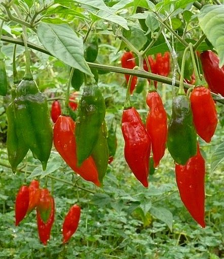 Chilli Habanero lantern - Hot paper lantern I am trying this in my garden this year.