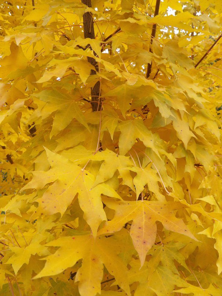 Acer Truncatum Kansas City Gold Has Excellent Yellow