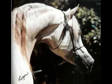 *El Shaklan. 1975 Grey Stallion. 50% Straight Egyptian, 50% Straight Spanish -> 'The Golden Cross'. Shaker El Masri x Estopa by Tabal. Bred by Om El Arab, Germany. Exported to England, the US 1982, Brazil 1986, Zichy-Thyssen Stud, Argentina 1993. Sire of 864 foals. 15.43% Crabbet. European Champion Junior Colt. Belgian National Champion Stallion. British National Champion Junior Colt. British National Champion Reserve Stallion. Maybe, the most influential stallion in the last twenty years.
