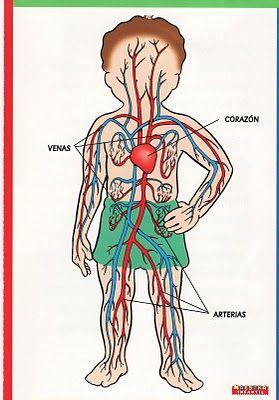 actividades para enseñar el sistema circulatorio en el nivel inicial - Buscar con Google