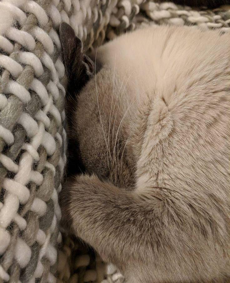 Zzzzzzzz #sleepy #cat #siamesecat #catsofinstagram