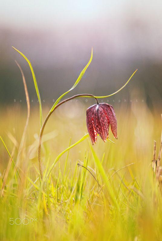 Beauty Bell - Fritillaria meleagris