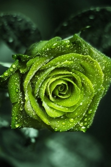 Green Rose after the Rain