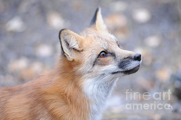 Red Fox Appearance Related Keywords & Suggestions - Red Fox ...