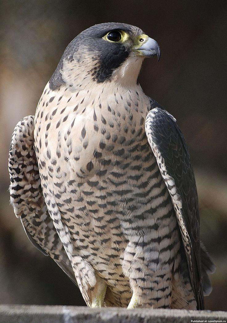 Это самая быстрая птица, и вообще живое существо, в мире. По оценкам специалистов, в стремительном пикирующем полёте она способна развивать скорость свыше 322 км/ч, или 90 м/с