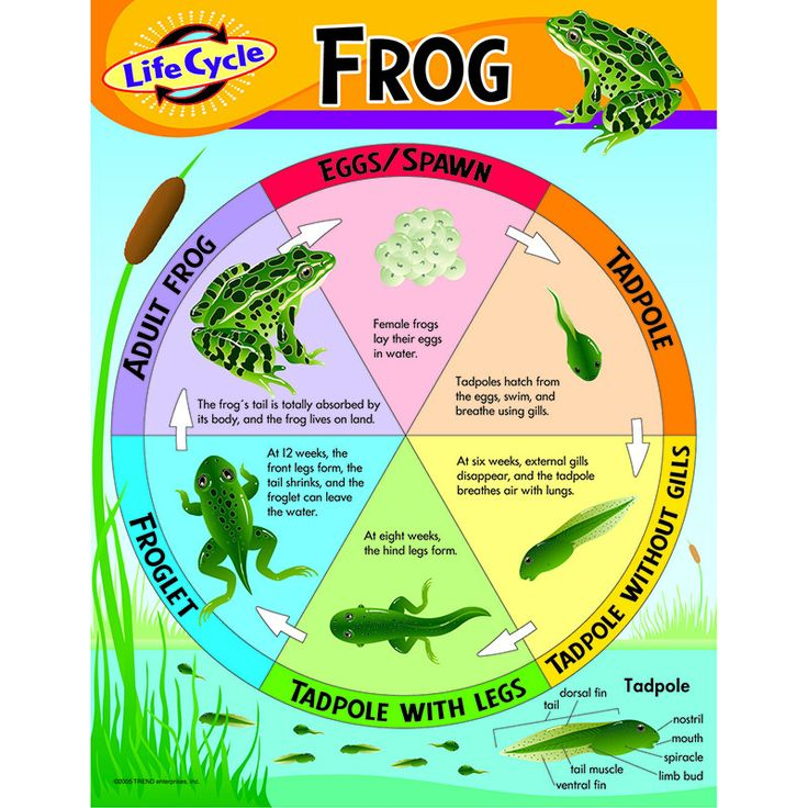 Learn about the life cycle stages of the frog. Back of chart features…